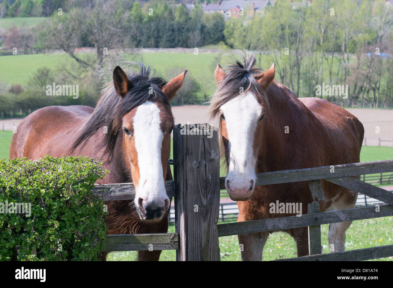 two-clydesdale-horses-peer-over-fence-at