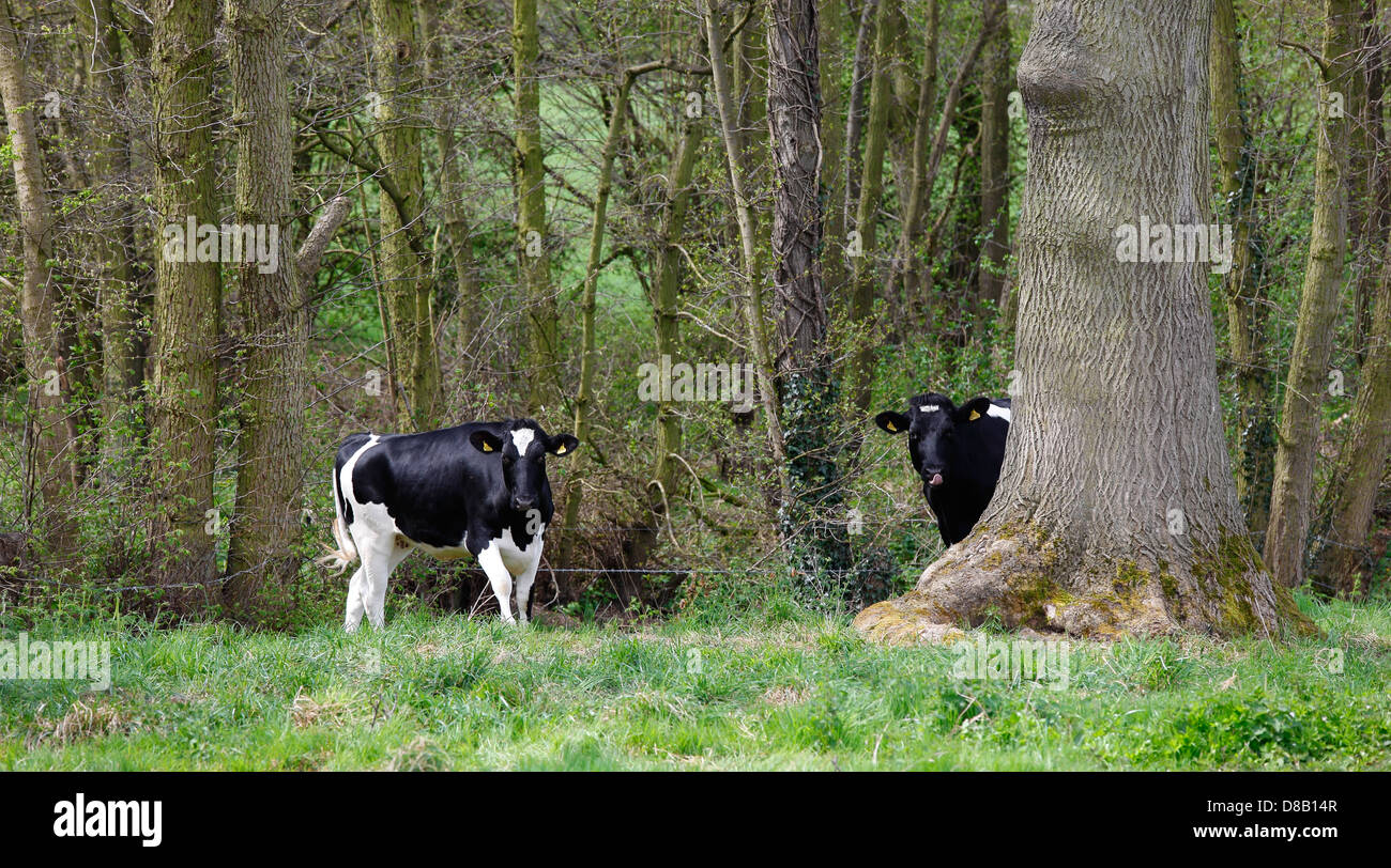 young-heifers-being-curious-D8B14R.jpg