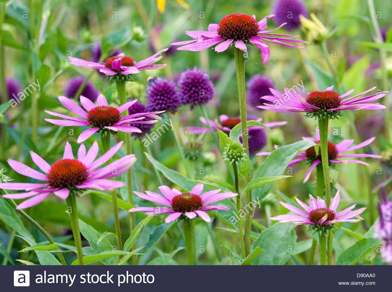 echinacea purpurea 39 fatal attraction 39 coneflower 39 fatal. Black Bedroom Furniture Sets. Home Design Ideas