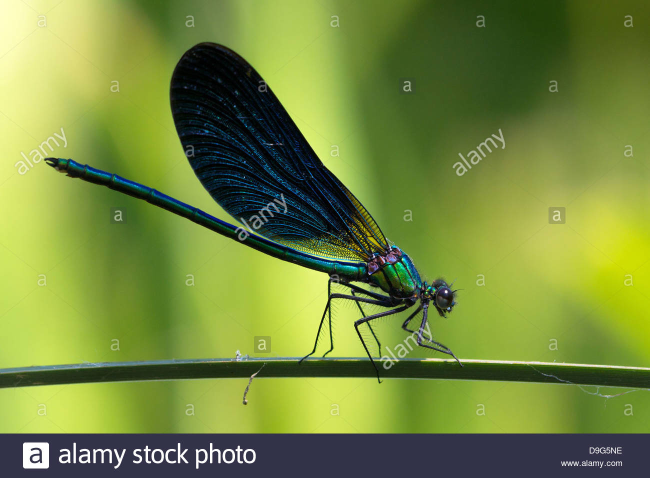 calopteryx-virgo-damselfly-known-as-the-