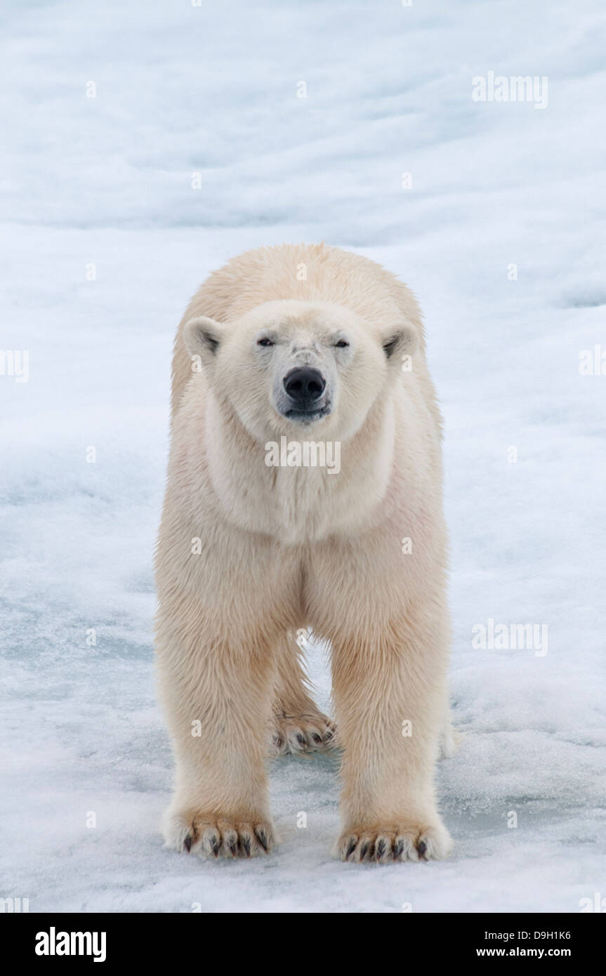 adult-male-polar-bear-ursus-maritimus-on