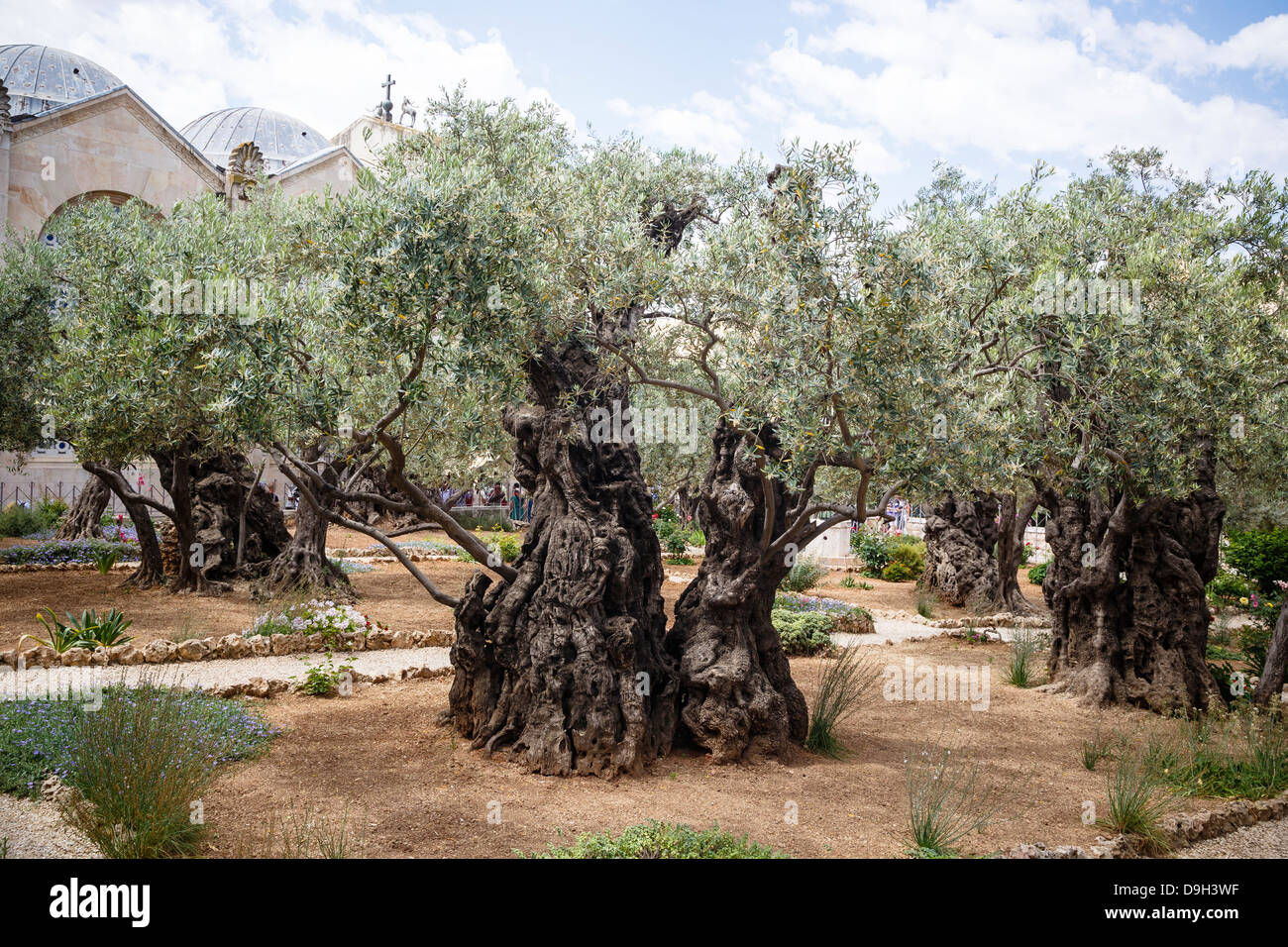 Olive trees in the garden of gethsemane jerusalem israel for Age olive trees garden gethsemane