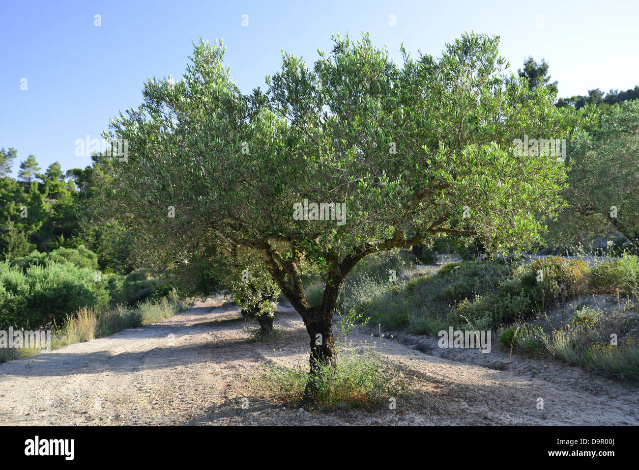 olive tree olea europaea in olive grove near monolithos rhodes stock photo royalty free. Black Bedroom Furniture Sets. Home Design Ideas