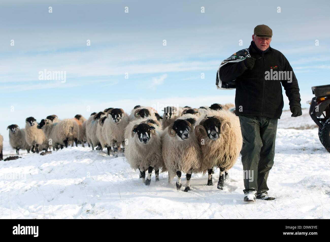 shepherd-leading-a-flock-of-dalesbred-sh