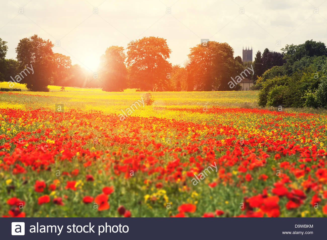 summer poppies Stock Photo