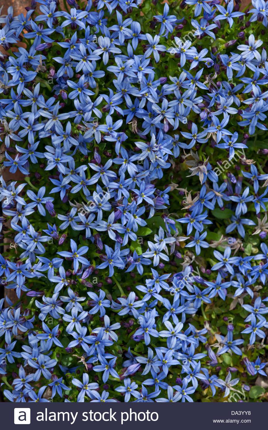 blue star creeper isotoma fluviatilis flower summer mat forming stock photo royalty free image. Black Bedroom Furniture Sets. Home Design Ideas