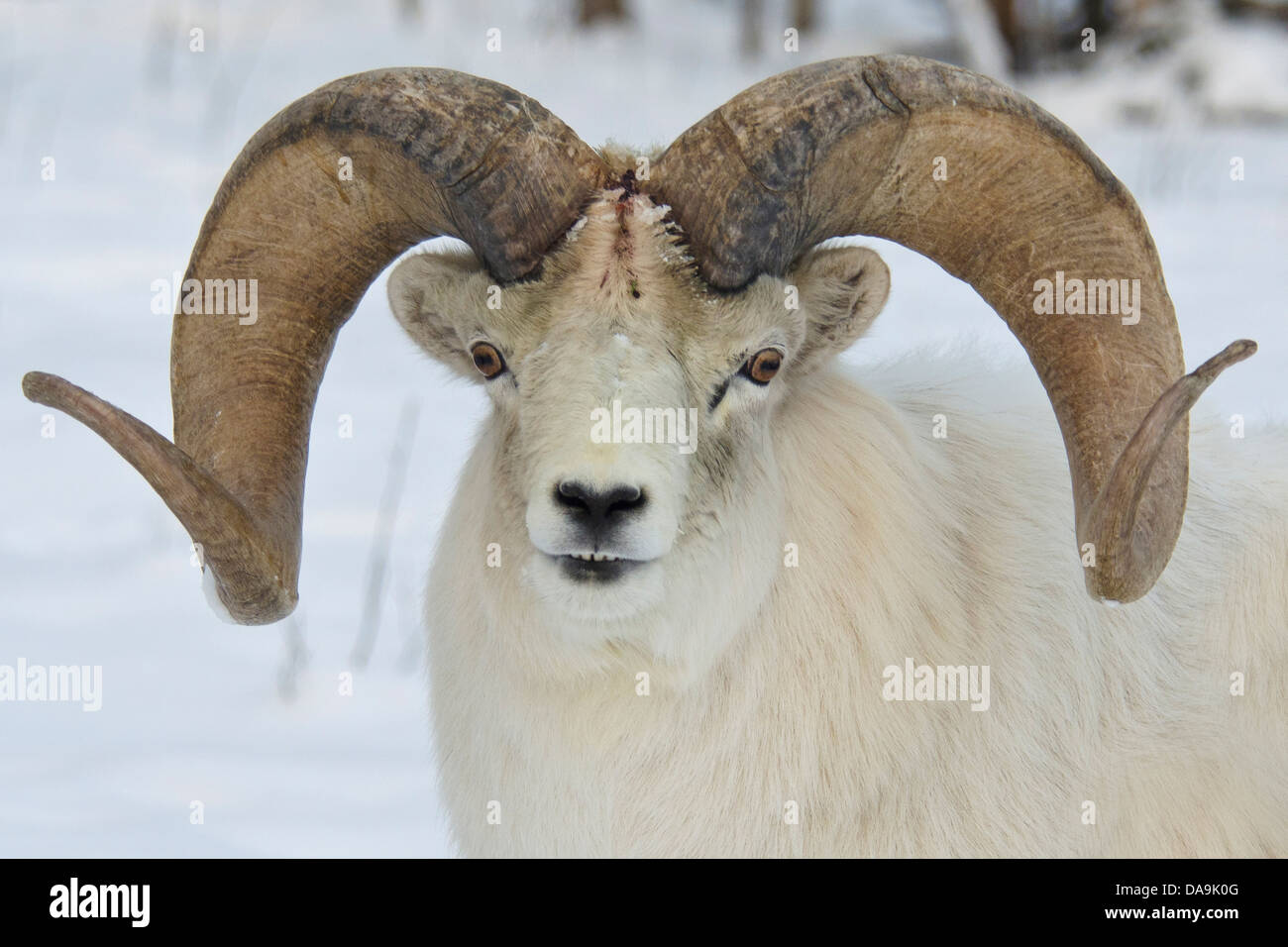 Ram Big Horn >> dall sheep, ovis dalli, Yukon, wildlife, preserve, Canada, sheep Stock Photo, Royalty Free Image ...