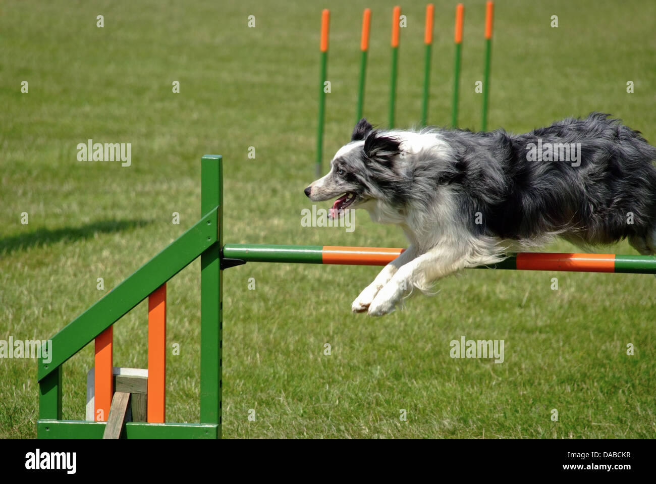 Free Dog Agility Photos