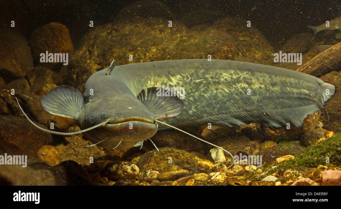European catfish, wels, sheatfish, wels catfish (Silurus glanis), swimming between deadwood, Germany - Stock Image.
