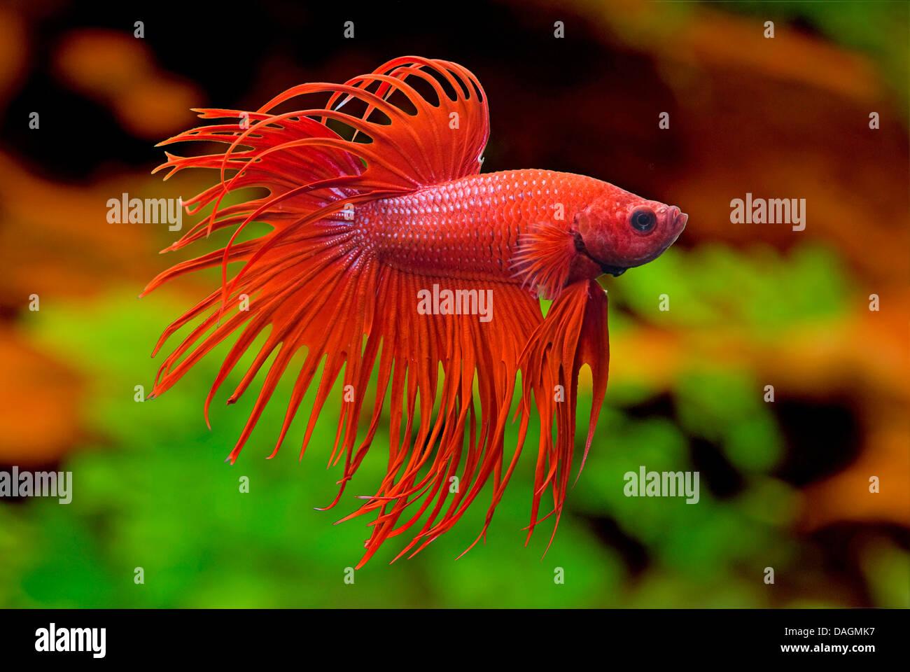 Siamese fighting fish siamese fighter betta splendens for Fish tail rot