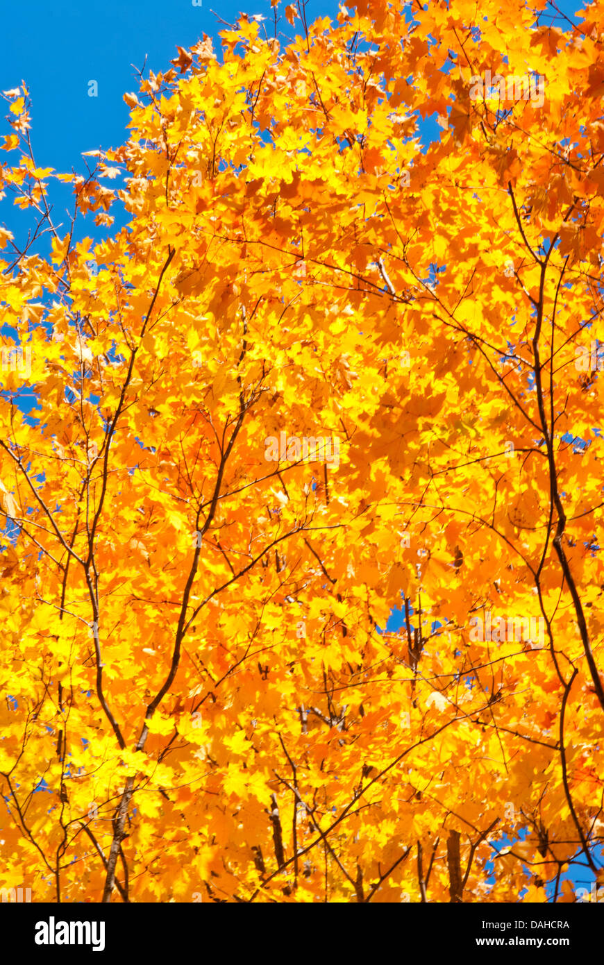 fall-maple-tree-leaves-against-a-deep-bl