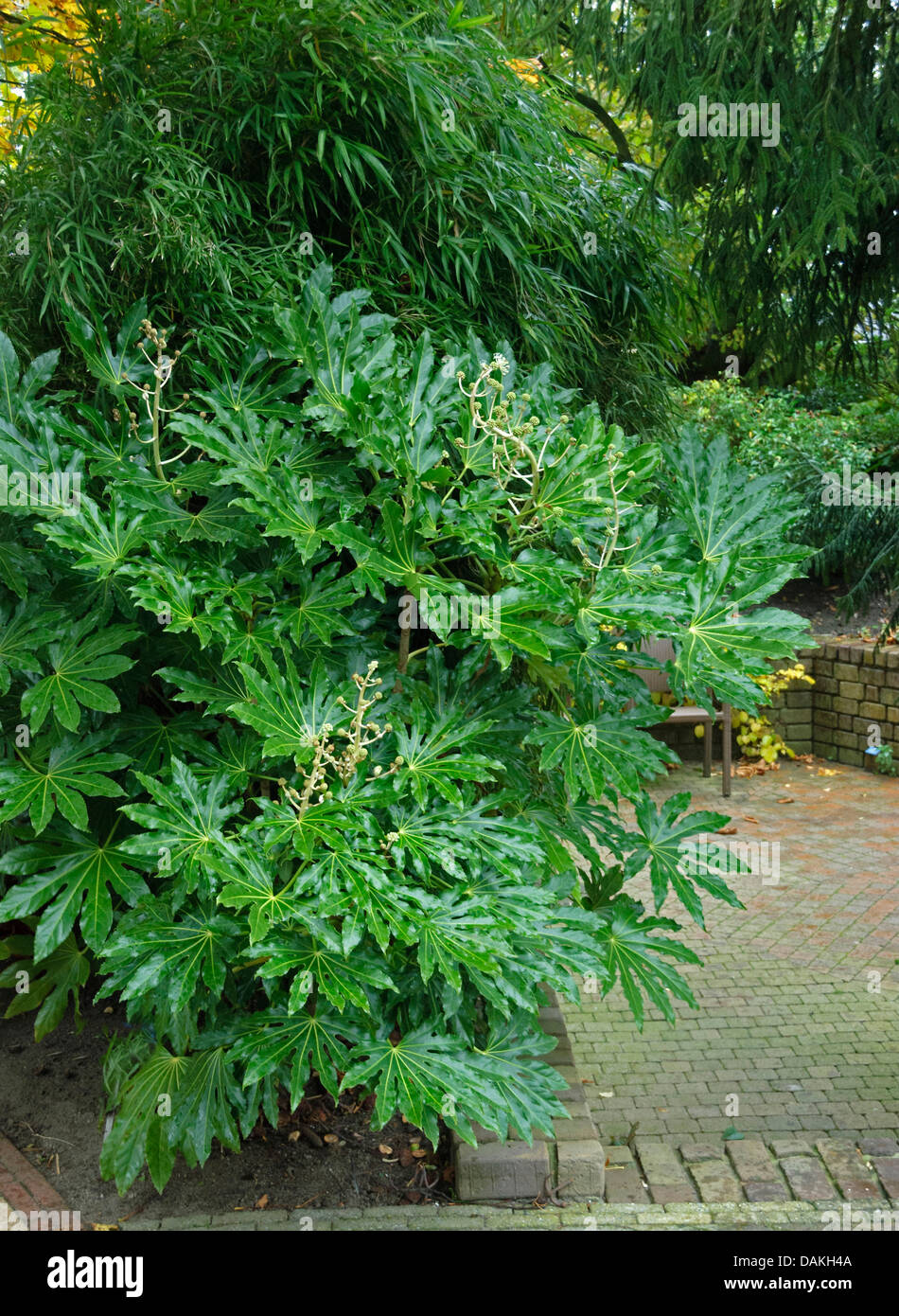 japanese aralia fatsia japonica in a garden netherlands stock photo royalty free image. Black Bedroom Furniture Sets. Home Design Ideas
