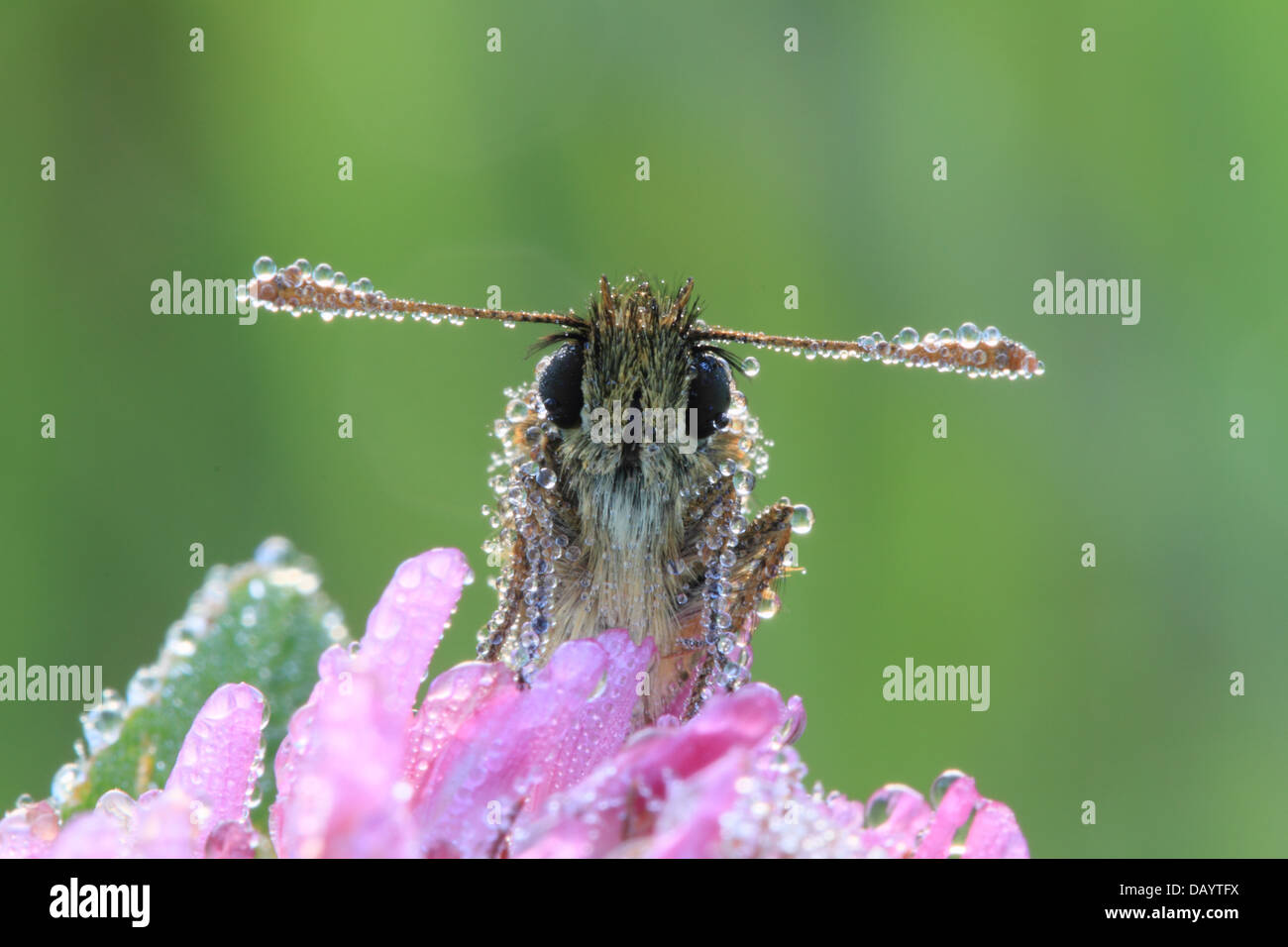 small-skipper-thymelicus-sylvestris-cove