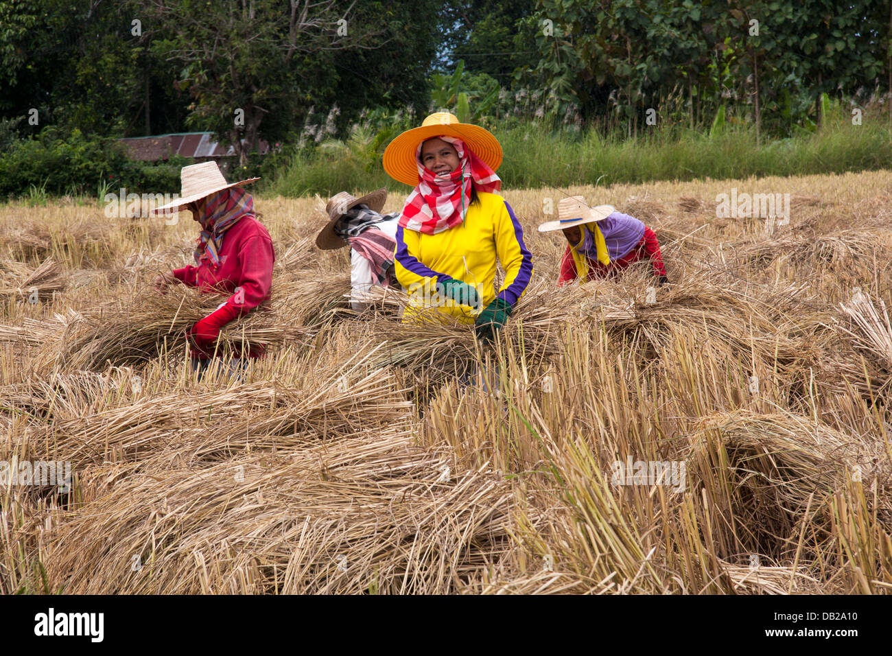workers-harvesting-rice-in-northern-thai