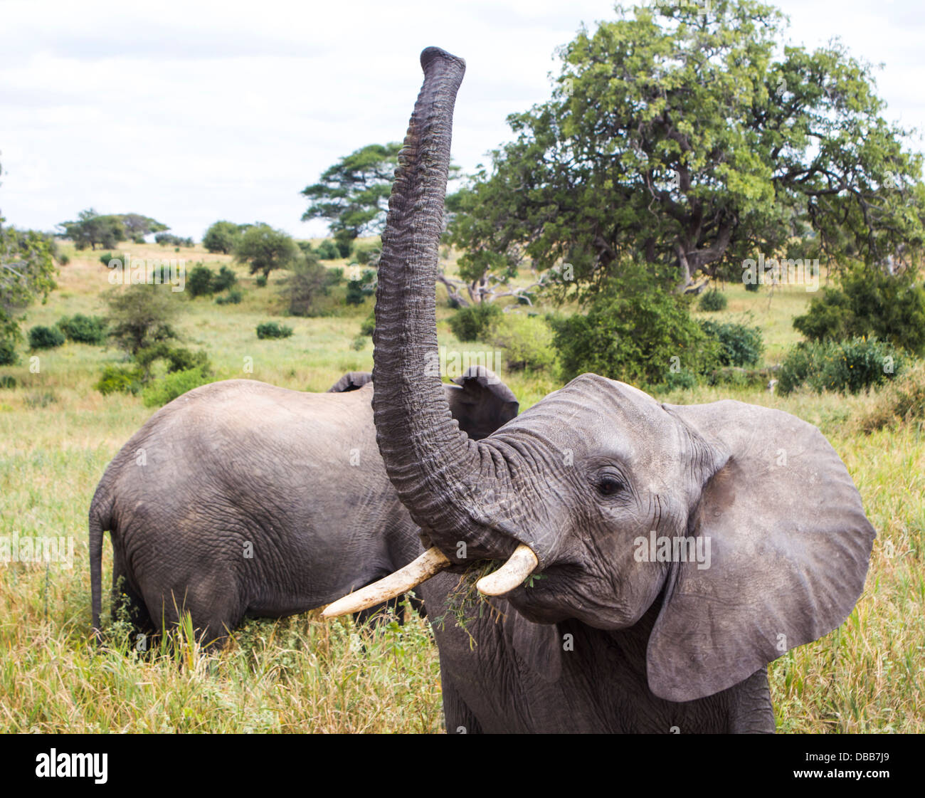 young-african-elephant-eating-grass-with