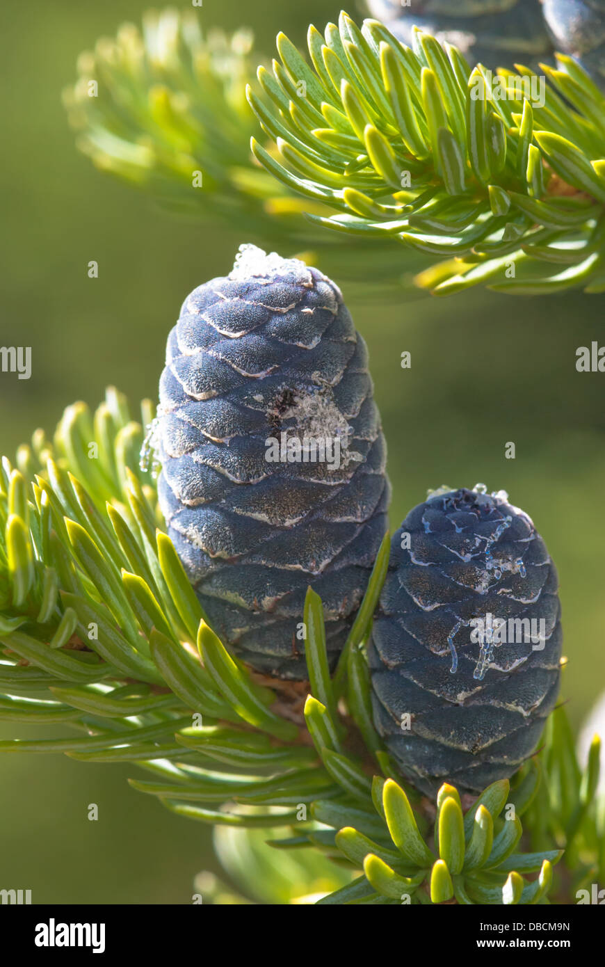 blue-alpine-fir-cones-abies-lasiocarpa-w