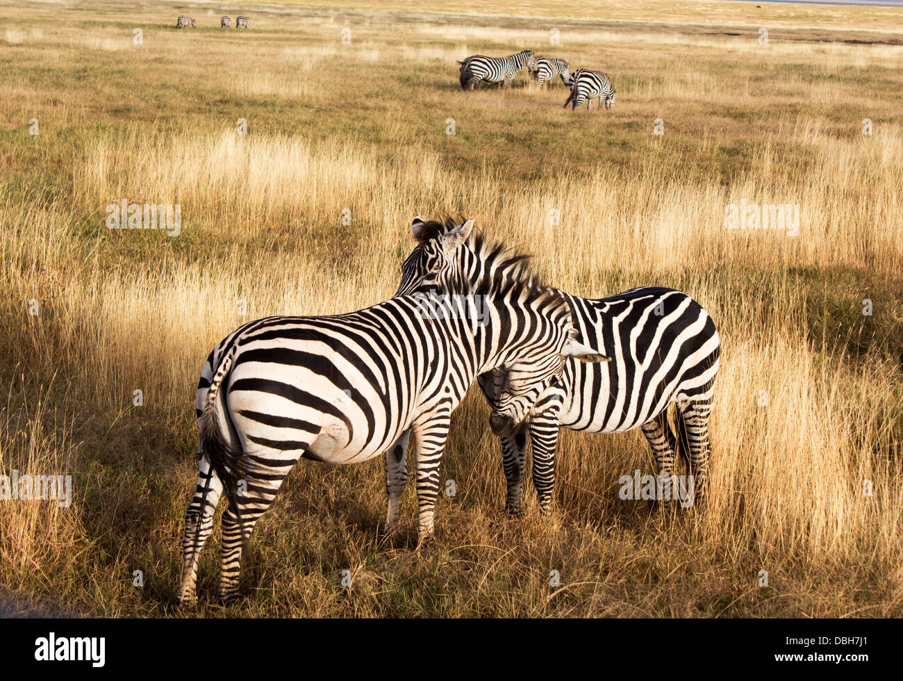 zebras-face-to-face-in-the-early-morning