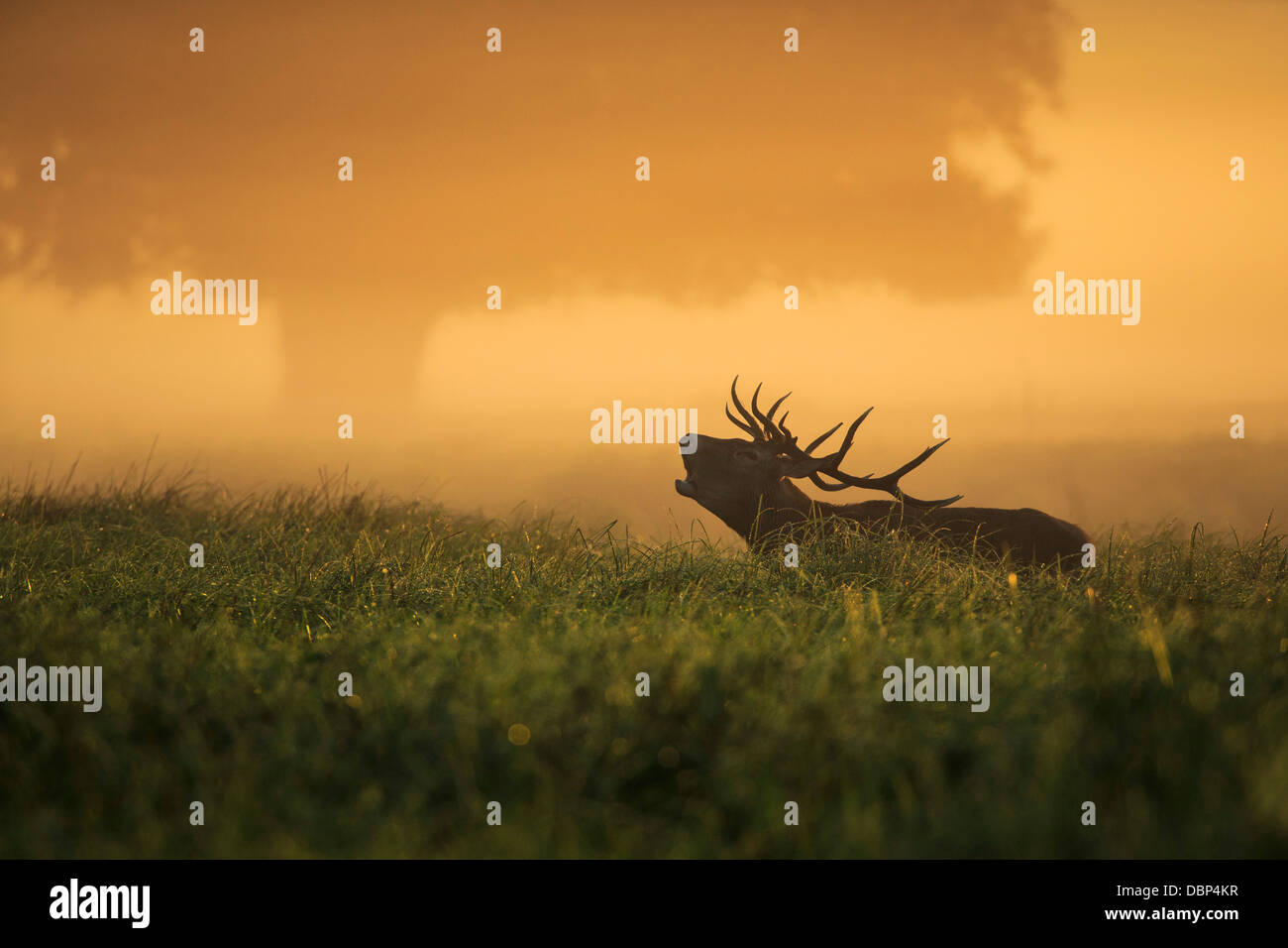 Stag In Field At Dawn Stock Foto