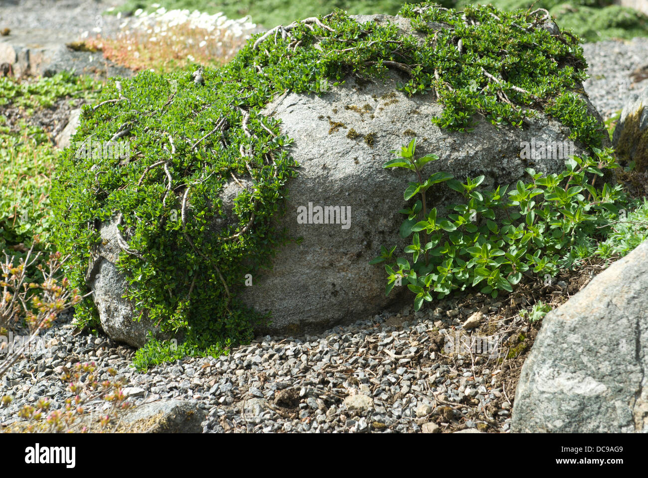 A cotoneaster like plant hugging the contours of small rocks in a stock photo royalty free - Considerations small rock garden ...