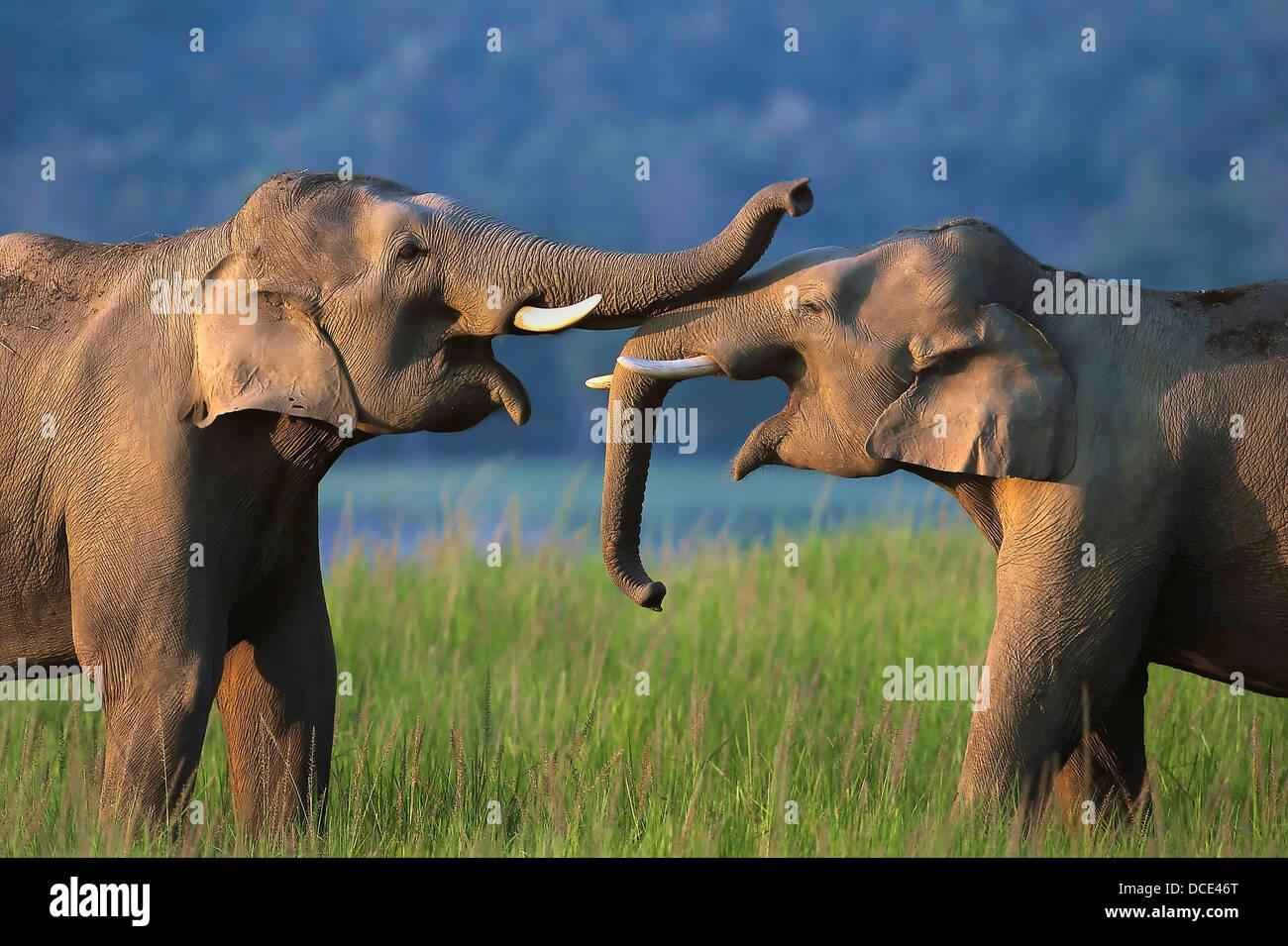 indian-elephant-elephas-maximus-asian-wi
