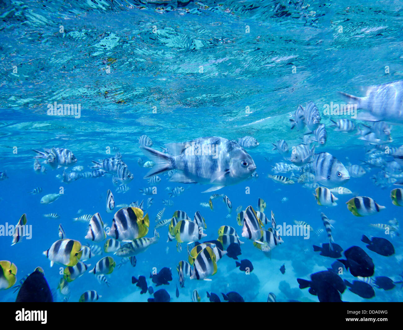 Tropical fish bora bora french polynesia stock photo for Bora bora fish