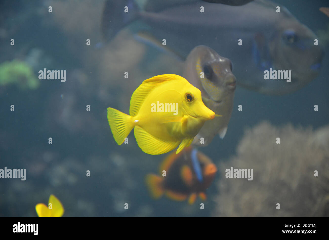 Yellow tang zebrasoma flavescens a saltwater fish for Saltwater fish representative species