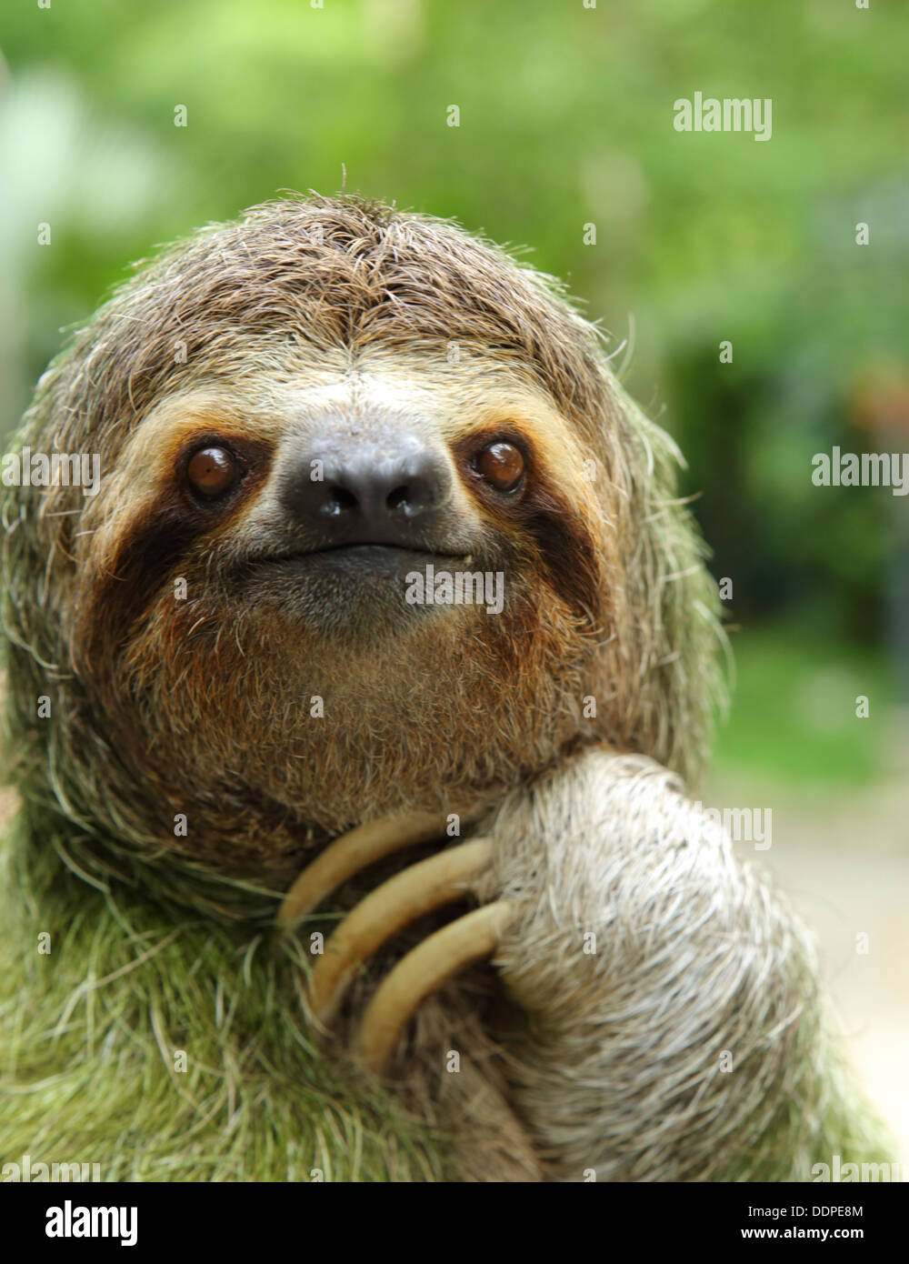Closeup of a three-toed sloth, Costa Rica Stock Foto