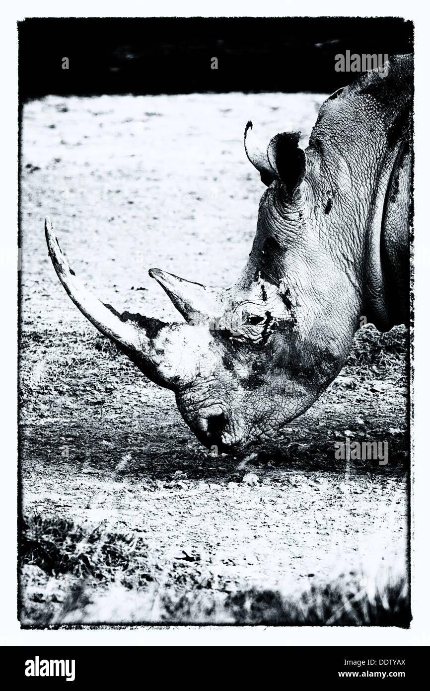 Single white rhino grazing: detail of head, side  view in stylised monochrome, Lake Nakuru, Kenya Stock Foto