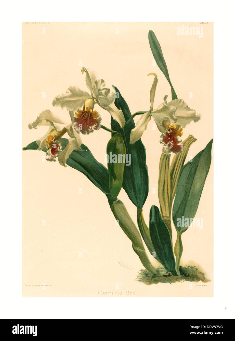 Gustav Leutzsch after Henry George Moon (German (?), active 19th century ), Cattleya Rex, lithograph Stock Photo