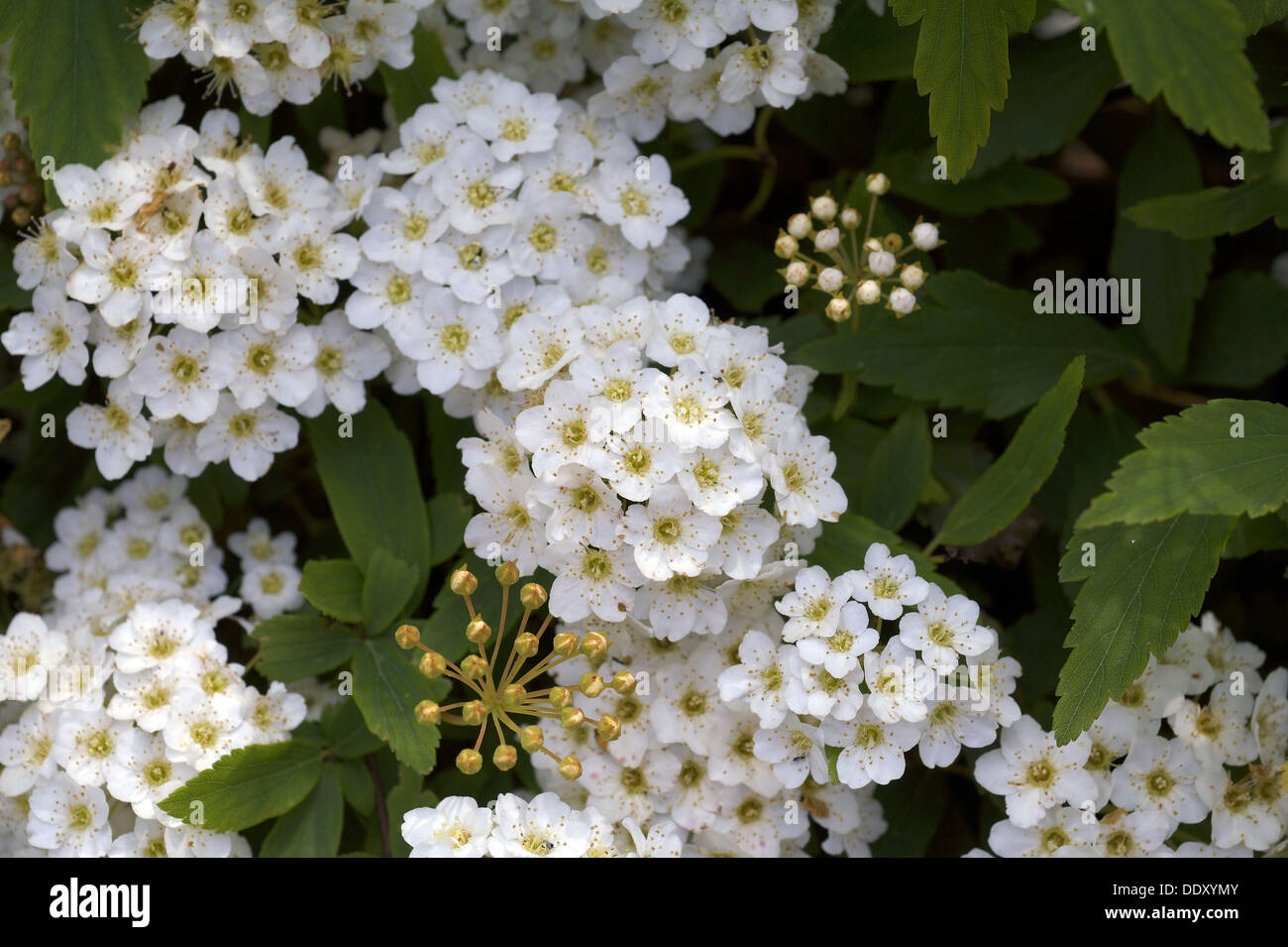 Flowers of Spiraea arguta, Sant´Agata de Goti. Province of Benevento, Campania, Italy Stock Photo