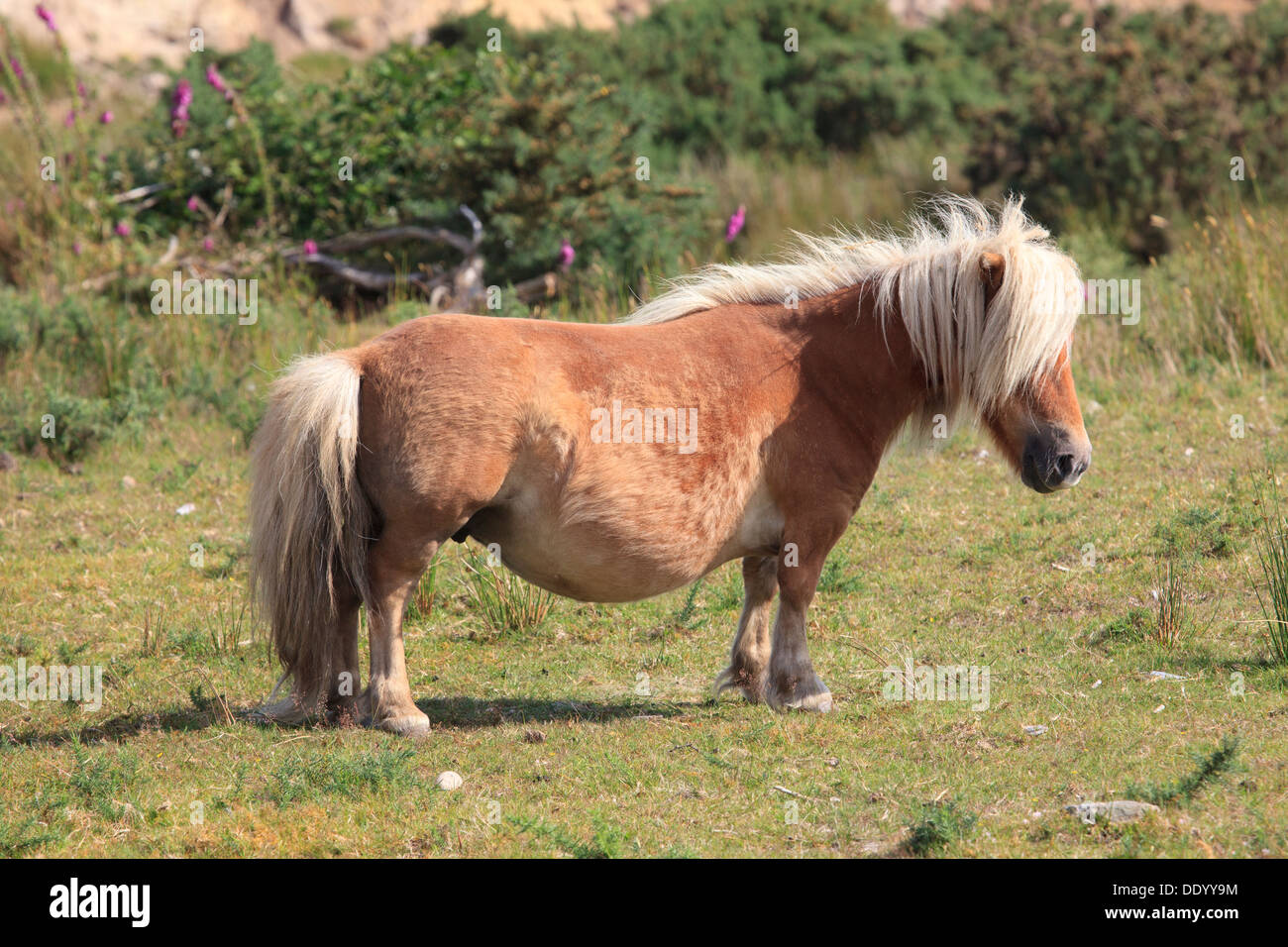 Chestnut brown miniature horse in Tourmakeady, Ireland ...