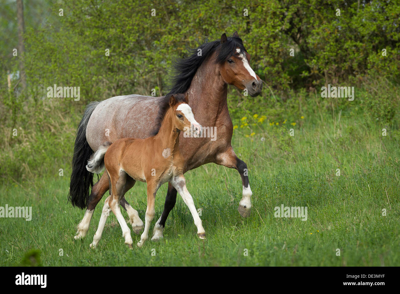 welsh pony section b strawberry roan mare foal trottinga