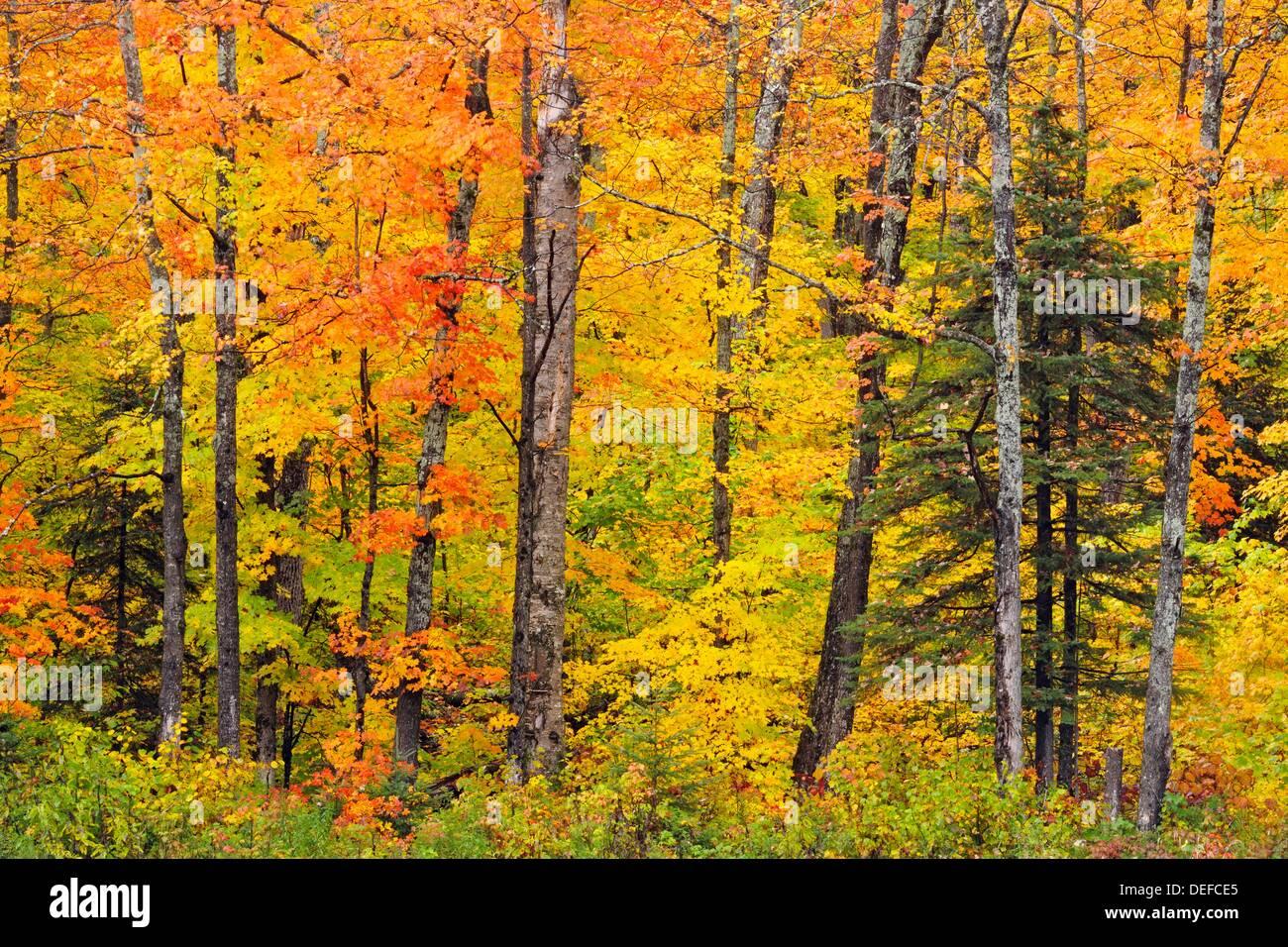 Temperate Deciduous Forest Trees In Peak Autumn Colour