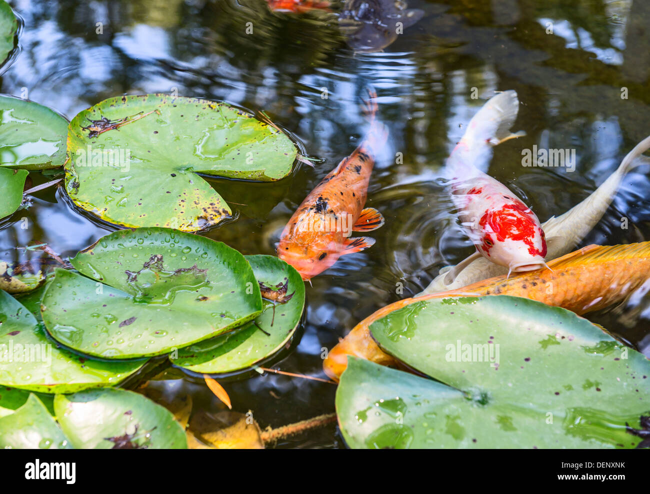 Beautiful koi fish and lily pads in a garden stock photo for Koi fish water