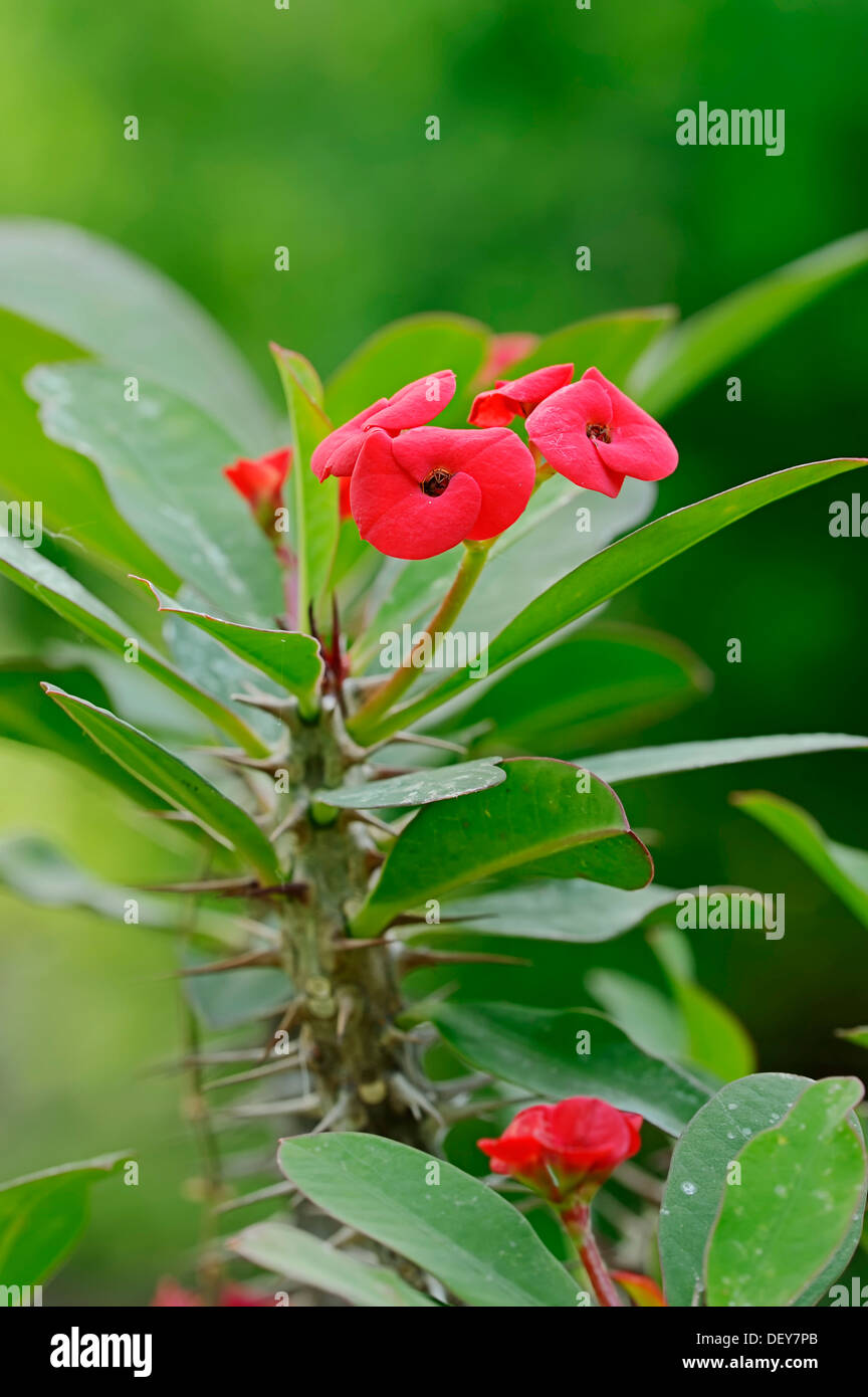 Crown of thorns christ plant christ thorn euphorbia for Crown of thorns plant