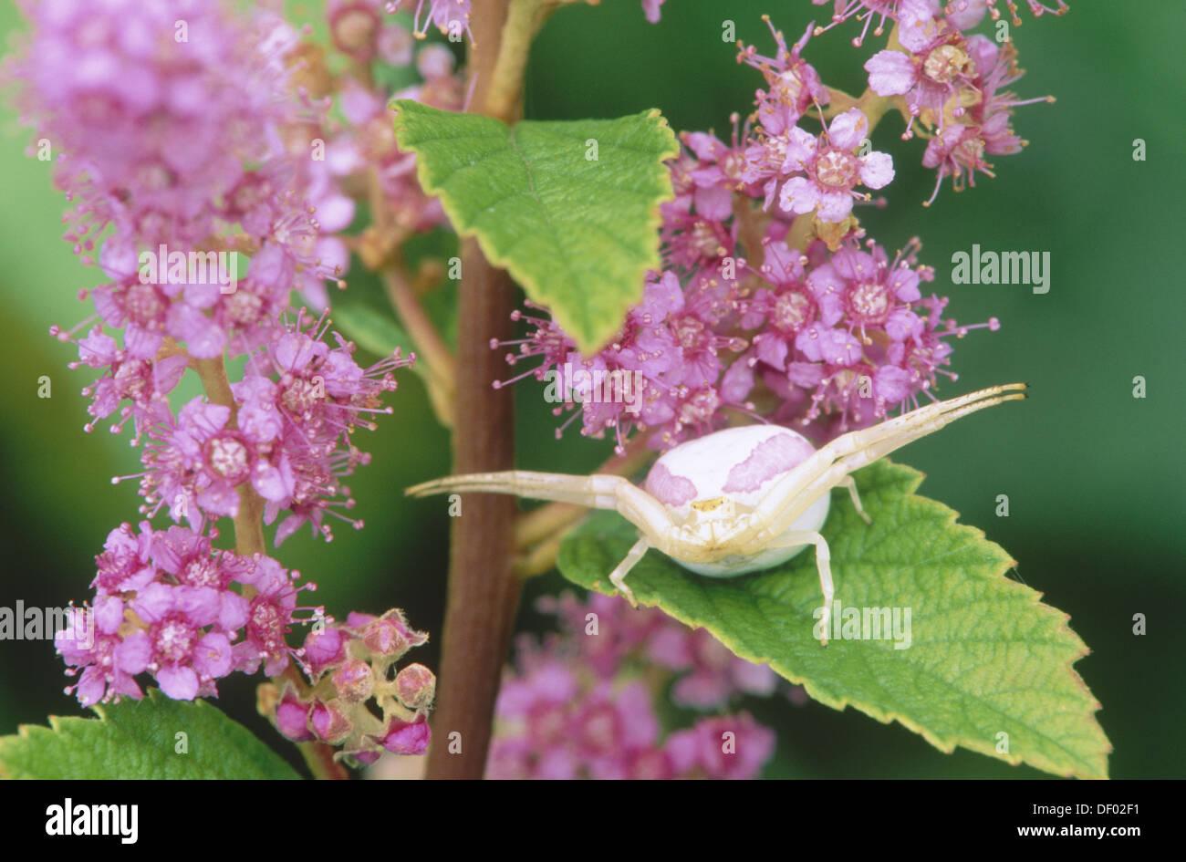 goldenrod-spider-misumena-vatia-on-leave