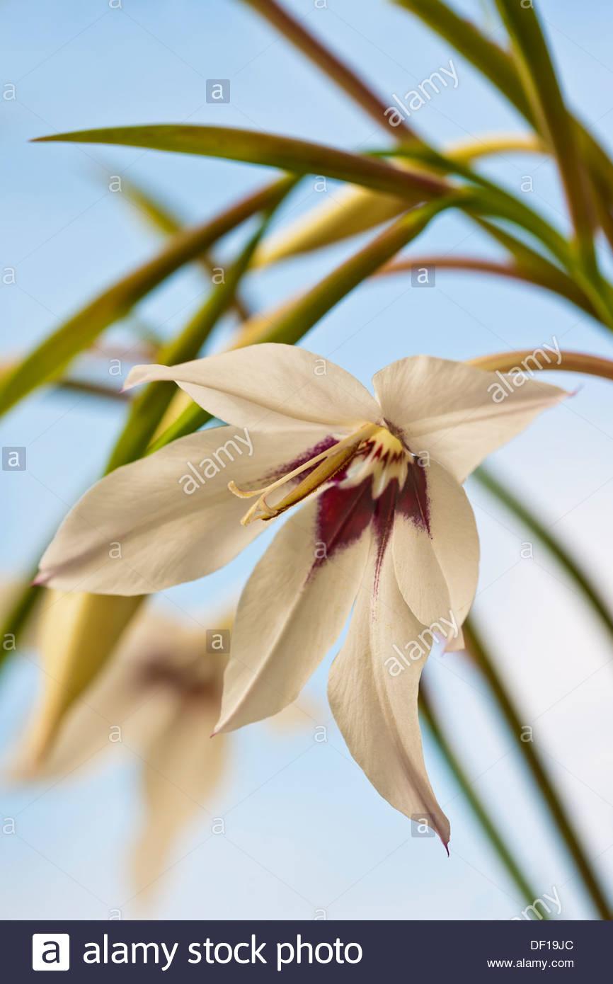 peacock-gladiolus-callianthus-murieliae-
