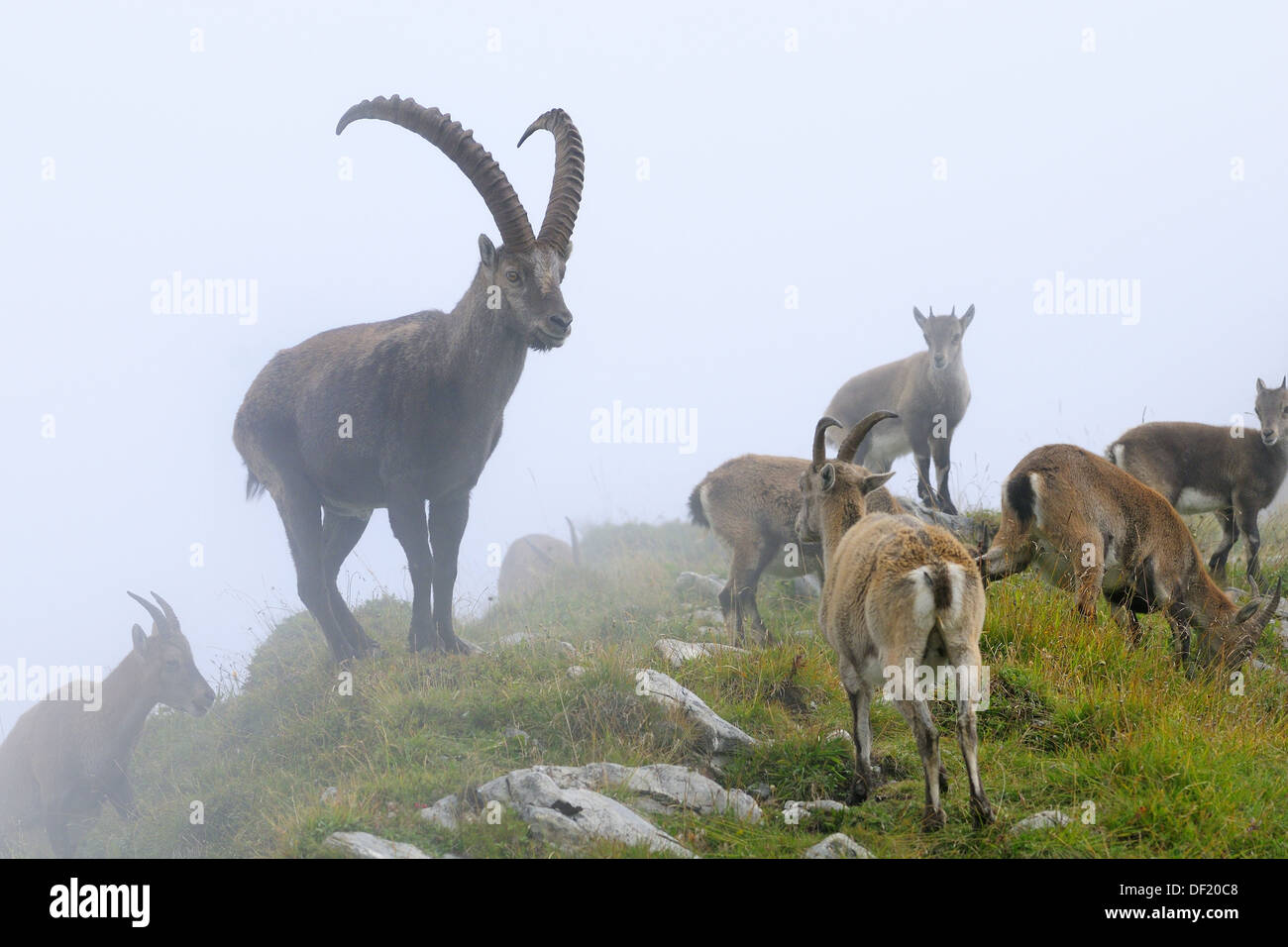 alpine ibex capra ibex herd in fog niederhorn switzerland stockfoto lizenzfreies bild. Black Bedroom Furniture Sets. Home Design Ideas