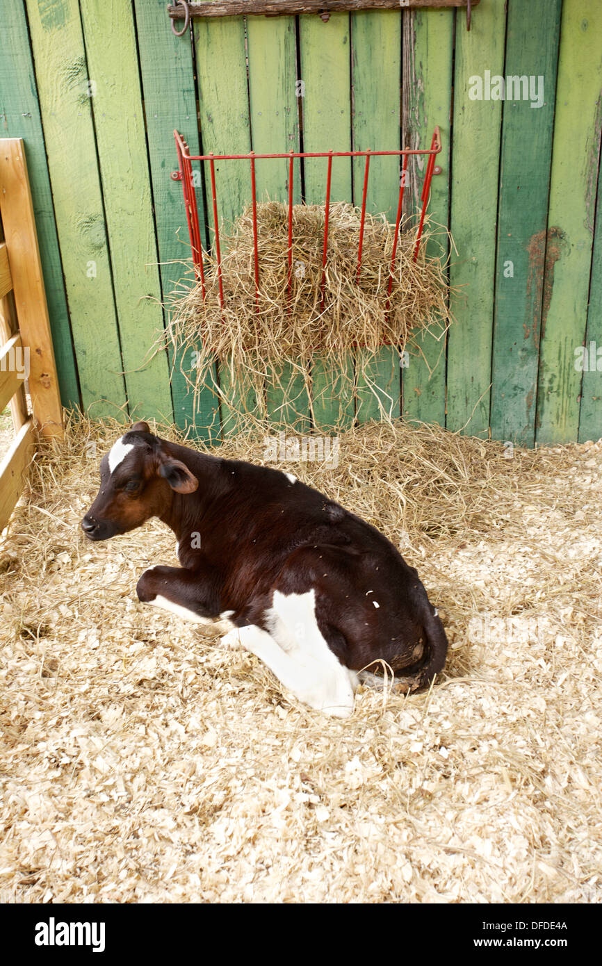 Baby cow calves in a barn stall laying down Stock Photo ...