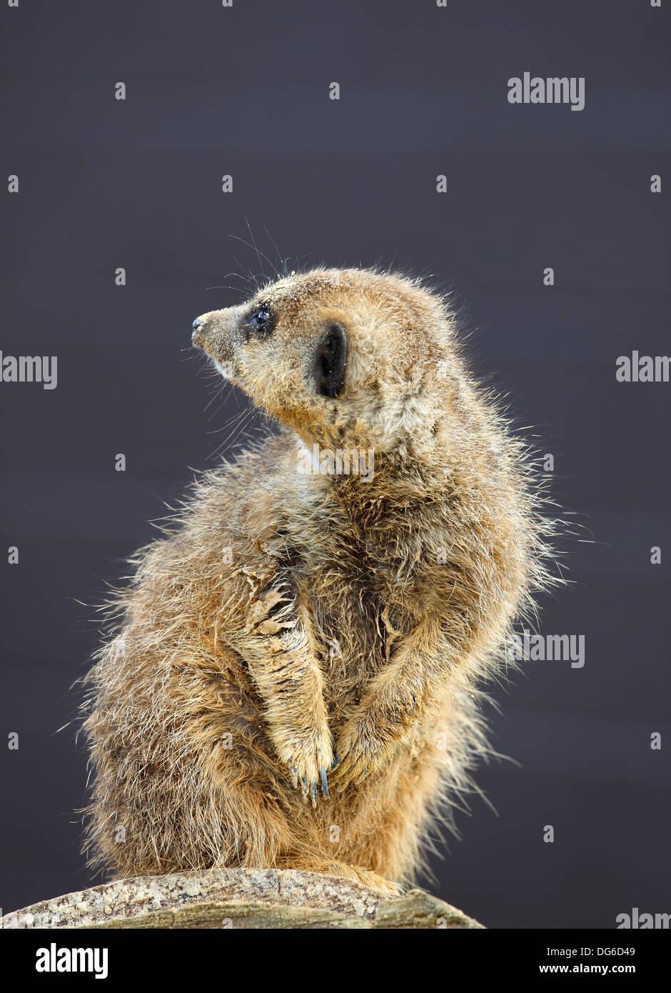 captive-meerkat-on-guard-watching-lookou