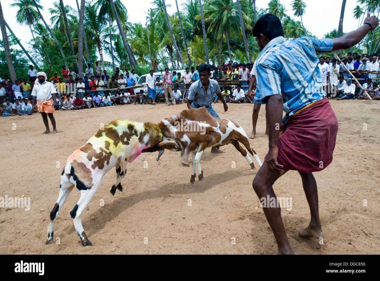 kidaai Muttu' Goat fighting - fight between two goats at a ...