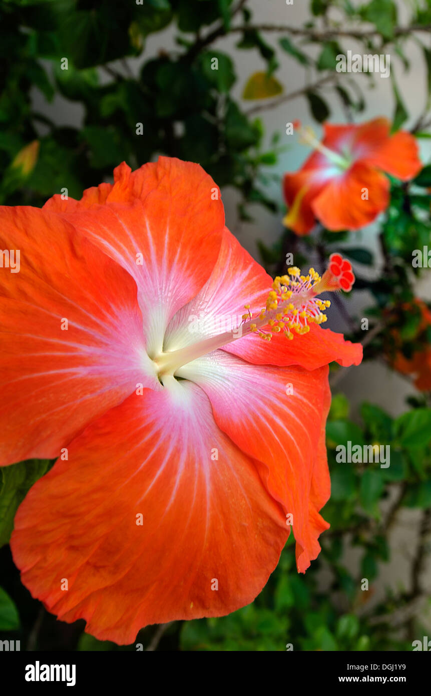 hibiscus tropical flowers blossom in rarotonga cook islands stock photo royalty free image. Black Bedroom Furniture Sets. Home Design Ideas