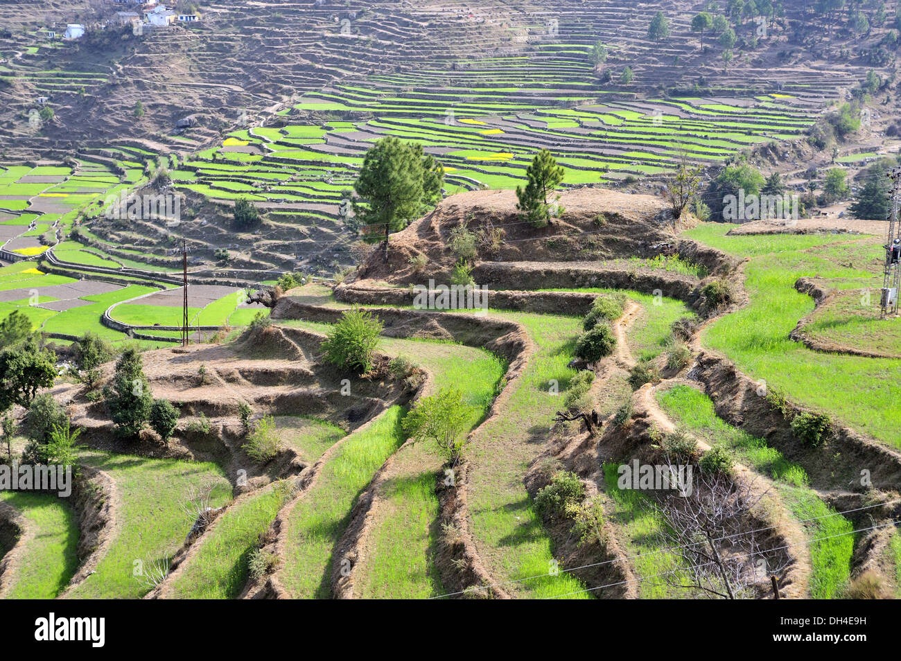 Terrace farming at kausani bageshwar uttarakhand india for Terrace cultivation