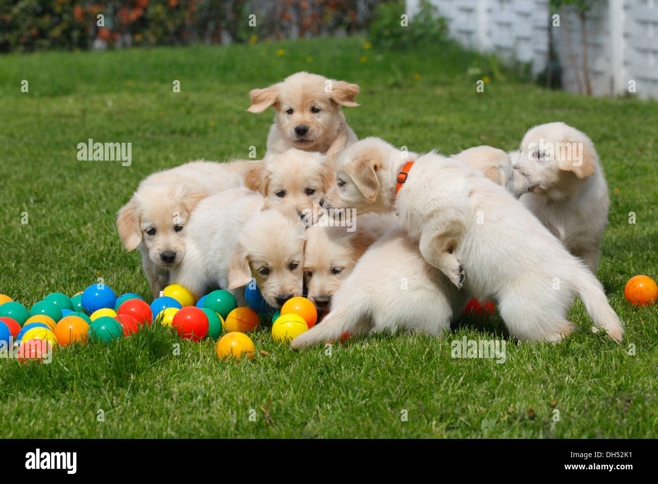 Golden Retriever Puppies With On Meadow
