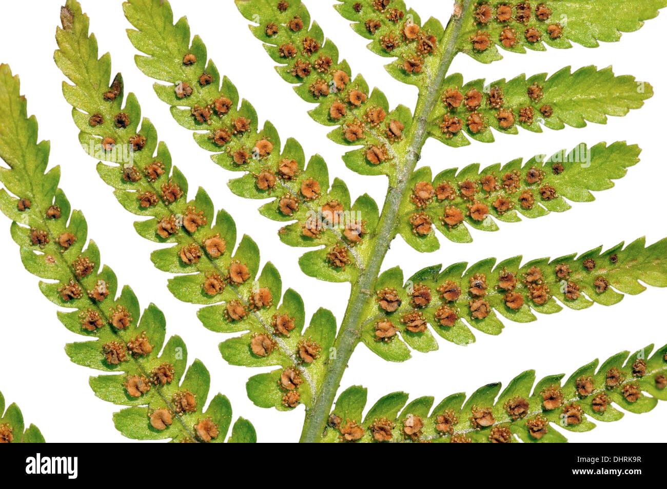 Leaf of the Male Fern with mature sporangia Stock Photo ... Fern Sporangia