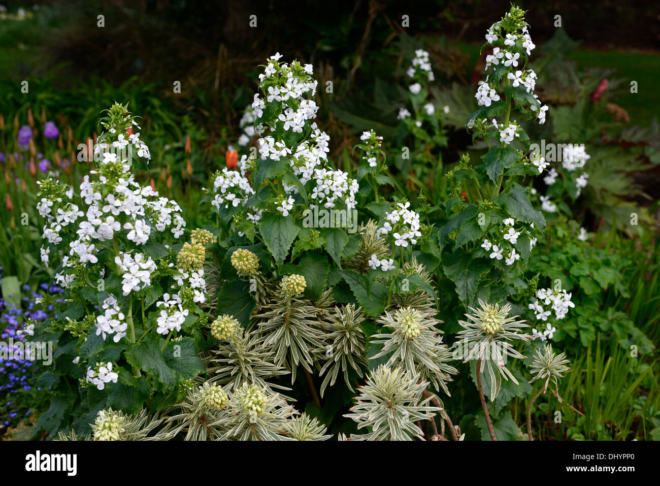 Euphorbia Characias Tasmanian Tiger Hesperis Matronalis