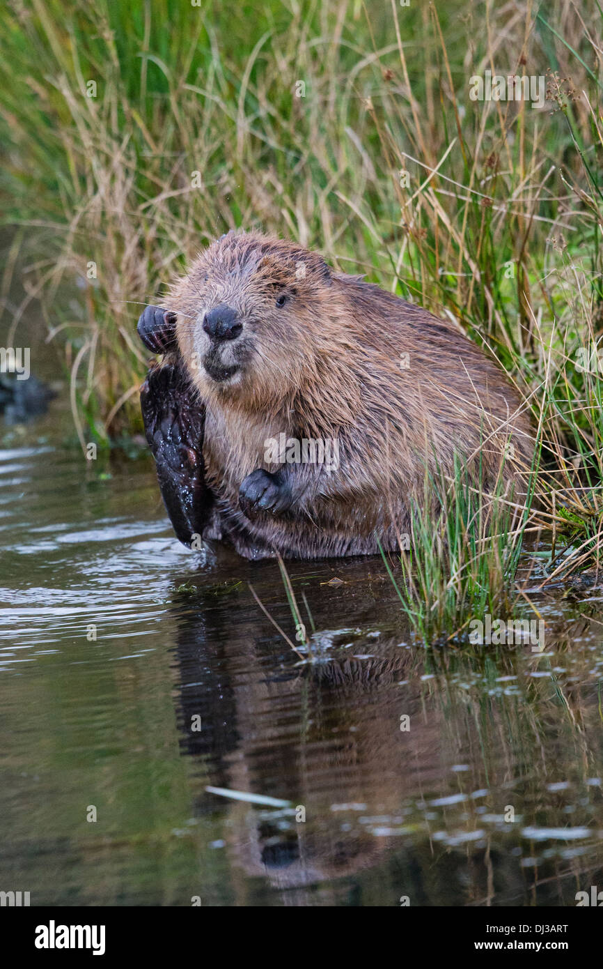 a-european-beaver-grooming-at-the-waters