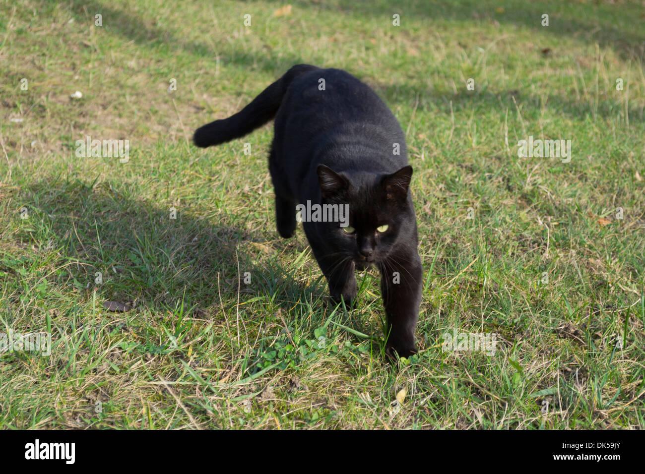 black-cat-walking-on-grass-in-the-garden