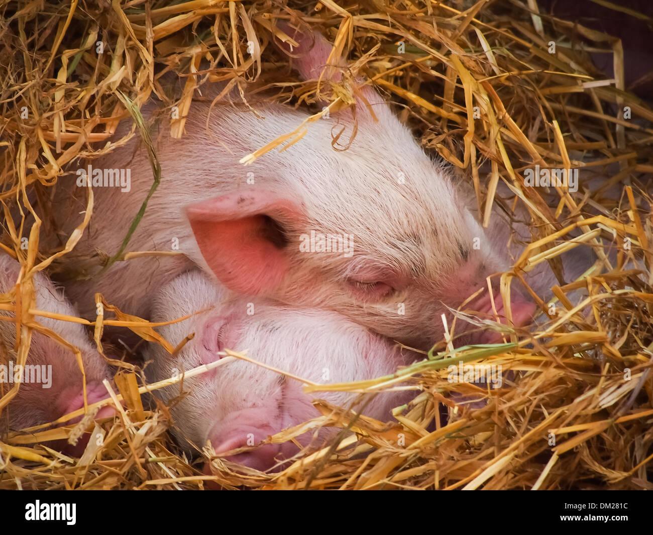 tamworth-piglets-sleeping-in-hay-DM281C.jpg