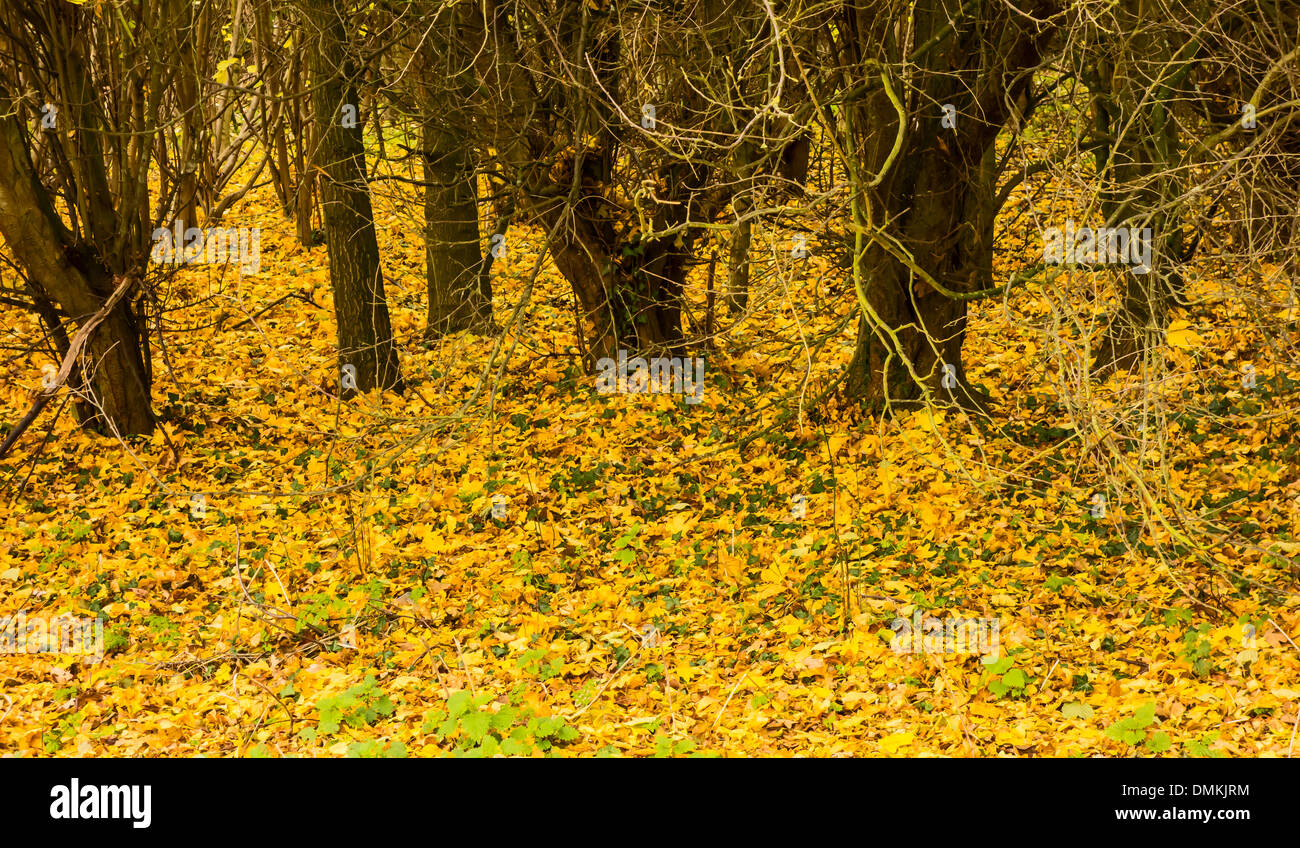 fallen-yellow-leaves-on-forest-floor-DMK